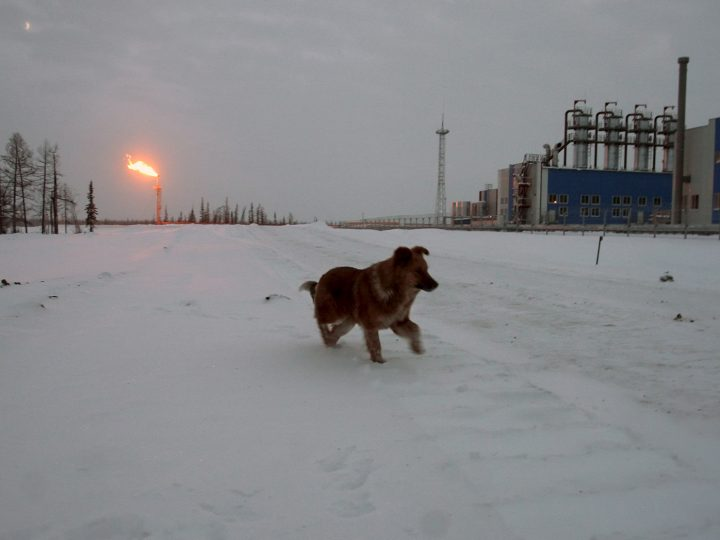 A picture made available on 19 December 2007 shows a dog run through the snow near the Yuzhno-Russkoye gas field in northwest Siberia, near Novy Urengoy, Russia on 18 December 2007. On 18 December, Russia and Germany launched Yuzhno Russkoye gas field. German Foreign Minister Frank-Walter Steinmeier attended the inauguration ceremony in Moscow on 18 December.  EPA/STR