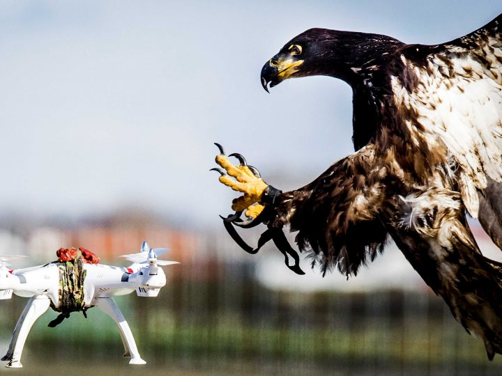 epaselect epa05199526 A trained eagle of the company 'Guard from Above' grabs a hovering drone during a exercise of the Dutch police in Katwijk, The Netherlands, 07 March 2016. The bird of prey can get drones from the air by catching them with his claws. Media reports state that various polices, including London's Metropolitan Police, are taking into consideration the idea that the birds could be deployed against what was described as 'hostile drones'.  EPA/KOEN VAN WEEL