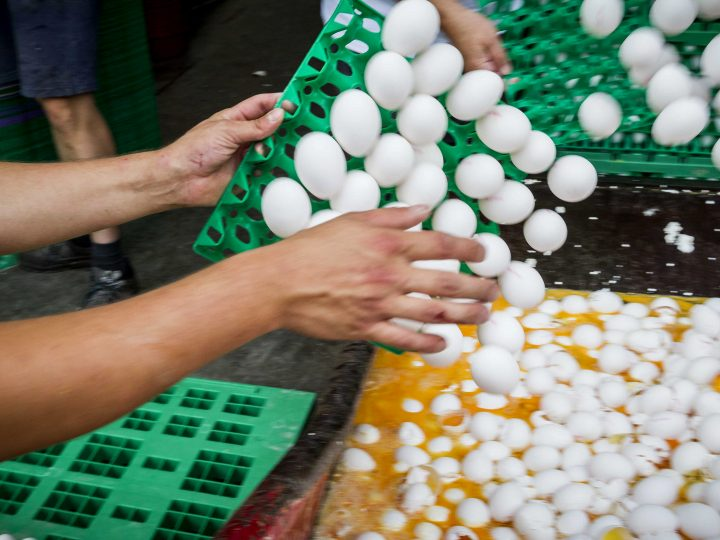 epa06123052 Eggs being destroyed at a poultry farm in Onstwedde, the Netherlands, 03 August 2017. The eggs are being destroyed on the order of the Dutch Food and Welfare Authority (NVWA) after it was discovered they contain toxic levels of the pesticide Fipronil.  EPA/PATRICK HUISMAN