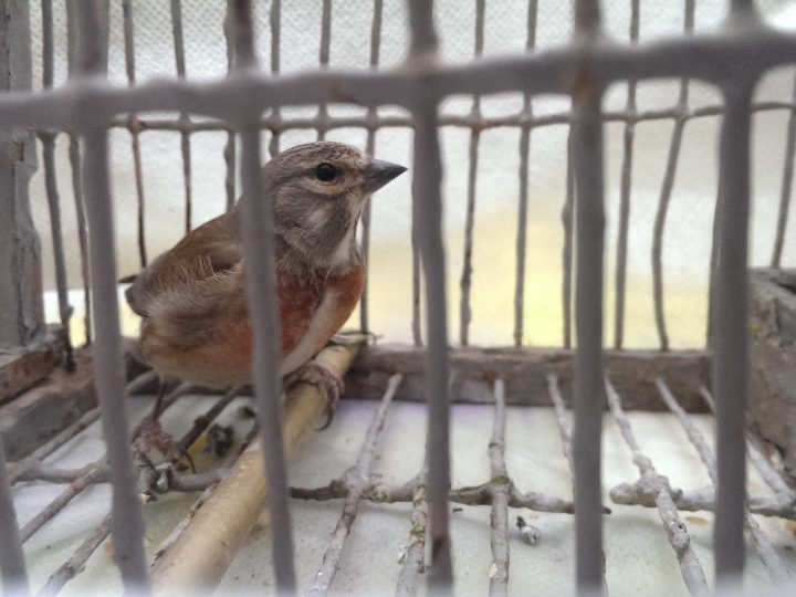 2. Linnet in a cage_Photo by BirdLife Malta