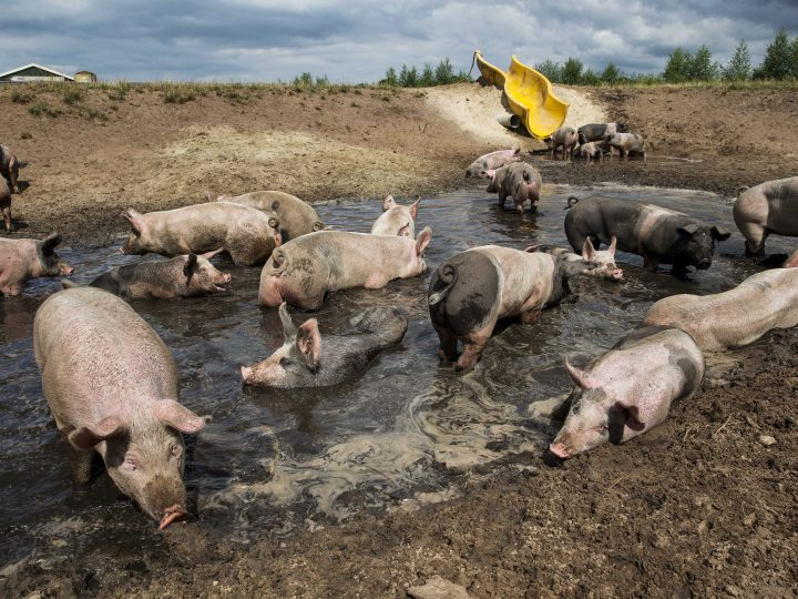 epa03814876 Pigs gather in a mud pool with their latest entertainment seen in background: a slide which local farmer Erik Stegink istalled for his animals to get into the mud pool of the farm in Bathmen, The Netherlands, 06 August 2013. Stegink bought the depreciated slide from a neighboring pool to offer a much appreciated fun for his pigs.  EPA/VINCENT JANNINK