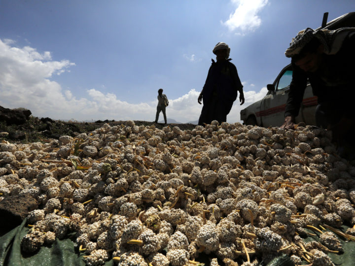 epa07114333 Yemenis collect a sorghum crop at a field during the harvest in Sana?a, Yemen, 23 October 2018. According to reports, the United Nations has warned of the number of Yemenis facing starvation could rise to nearly 12 million in the months ahead as the ongoing war in the Arab world?s already poorest country has affected the agricultural sector due to severe fuel shortages and high costs of fertilizers, declining the production of food crops.  EPA-EFE/YAHYA ARHAB