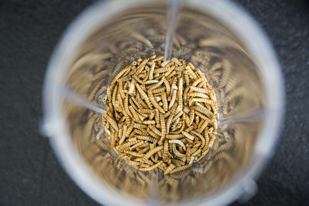 Overcoming the 'yuck factor': Yellow grub becomes EU's first insect food